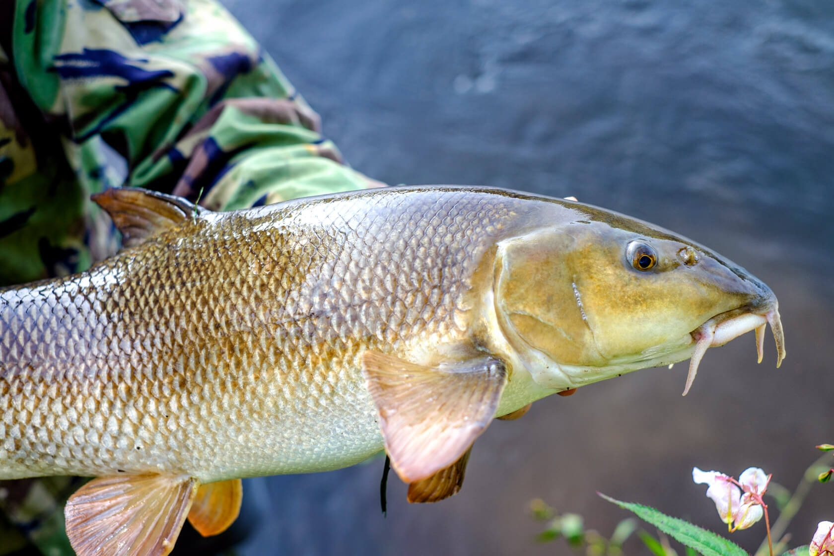 A large Barbel caught from the river Avon.